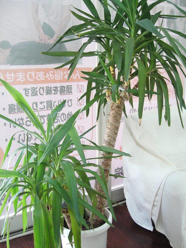 観葉植物ーユッカ