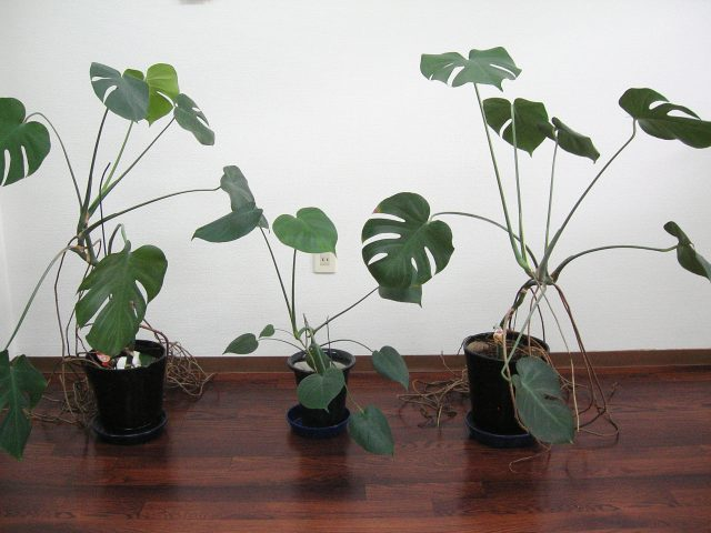 観葉植物ーモンステラ