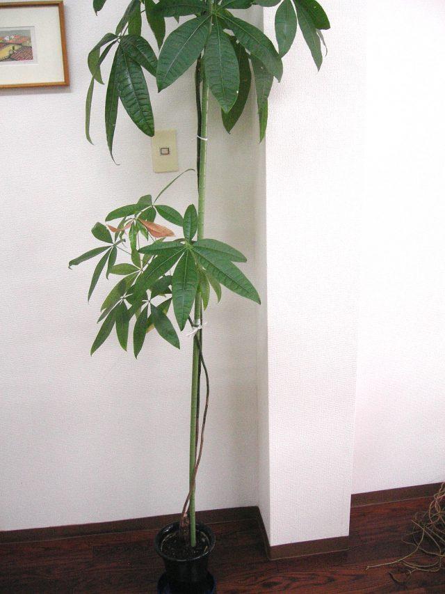 観葉植物-パキラ