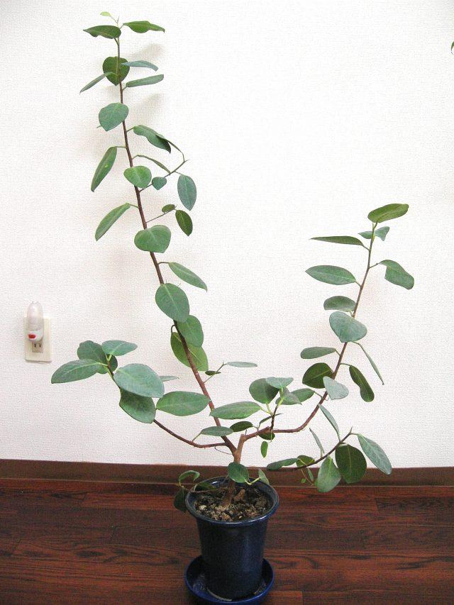 観葉植物-ガジュマル
